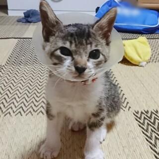 フジ柄の子猫ちゃんの里親さん募集中!!