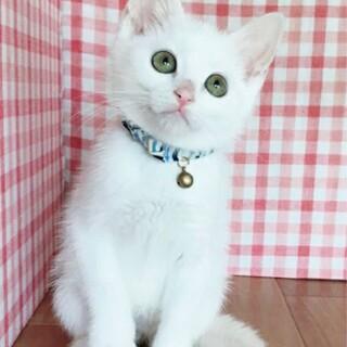 【8/2東日本橋】白猫キキくん♡2ヶ月半