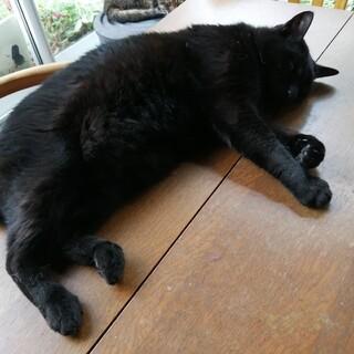 ゆうま君大きめ黒猫