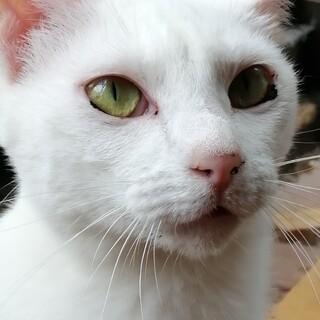 サトちゃん白猫