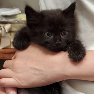 保健所からのレスキュー 長毛黒猫