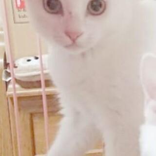白猫一才女の子穏やか性格です