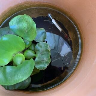 メダカ(稚魚)