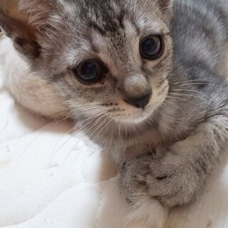 生後3ヶ月の子猫 サバ