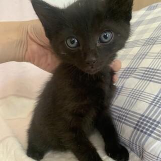 可愛い黒猫としぞう君3ヶ月