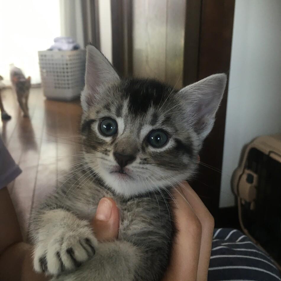 アメショとアビシニアンの子猫のカバー写真