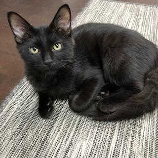 フワフワ尻尾で超イケメン!健康優良児の黒猫くん♂