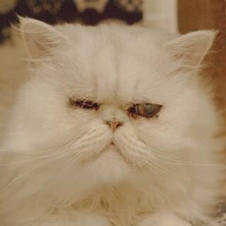 お饅頭みたいな真ん丸顔 ペルシャ猫 ビビ君