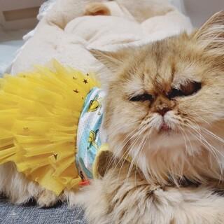 のんびりマイペースなペルシャ猫 愛子