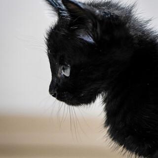 【募集一旦停止】魅惑の漆黒美猫ちゃん