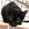 物静かで頭の良い子猫◎三姉妹ごぼちゃん サムネイル2