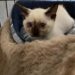 仔猫3姉妹・シャム柄・青い目・シャイ♪2ヶ月半