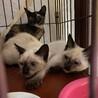 仔猫3姉妹/サビ柄・目は琥珀色・美猫♪2ヶ月半 サムネイル7