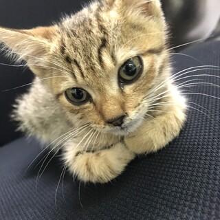 超フレンドリーなキジ猫ちゃん❣️7週目