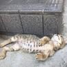 超フレンドリーなキジ猫ちゃん❣️7週目 サムネイル2