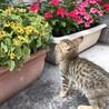 超フレンドリーなキジ猫ちゃん❣️7週目 サムネイル3