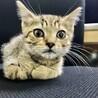 超フレンドリーなキジ猫ちゃん❣️7週目 サムネイル4