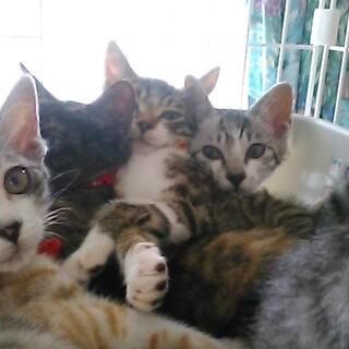 老夫婦が増やしてしまった仔猫6匹募集