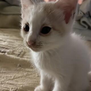 薄い白茶仔猫オス2ヶ月