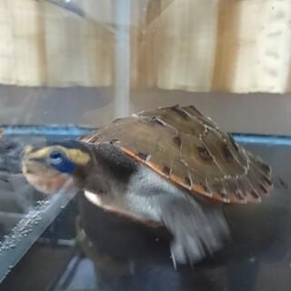 ニシキマゲクビガメ(交渉中)