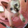 シャム風ふわふわ♪青い目の子猫♀ 生後2ヶ月半