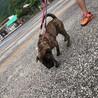 パグ×ピットブルの人懐っこいMIX犬 サムネイル3
