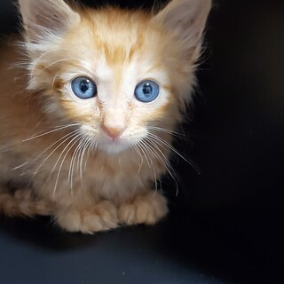 ふわふわ半長毛白茶1.5ヵ月♂仔猫
