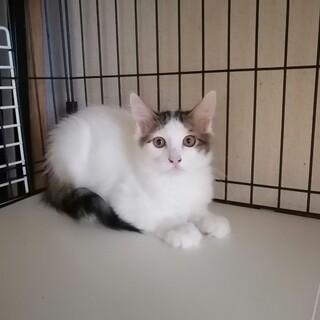 白キジトラロング子猫の甘えん坊な男の子