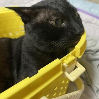 カギ尻尾の黒猫雄