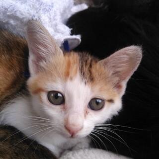 可愛い〰三毛猫の女の子