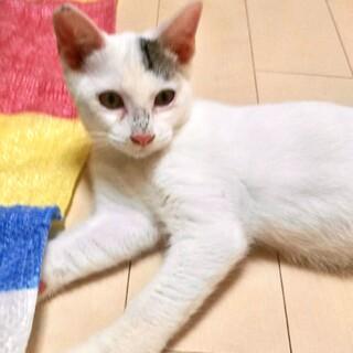 模様がユニークな美男子のほぼ白猫