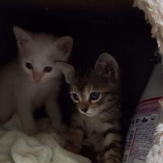 生後1ヶ月半の子猫ちゃん