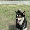The和犬!柴犬「おはぎ」