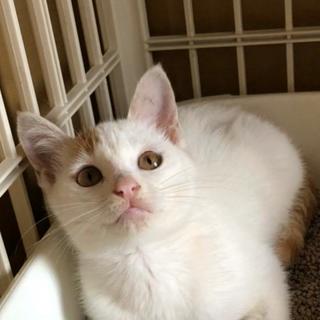 【急募】可愛い白茶の子猫ちゃん