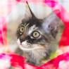 3ヶ月♀長毛♡茶色サビ猫ハート