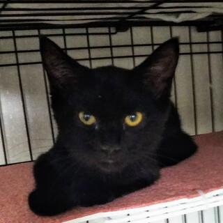 抱っこもできる黒猫のくろ太、4ヵ月