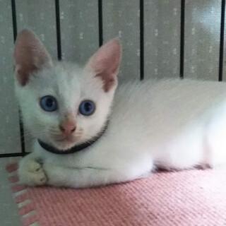 真っ白、青い目、タピーくん2ヵ月
