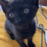 2ヶ月半♀元気いっぱい子猫です