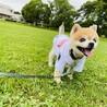 ポメラニアンMIX 老犬♂