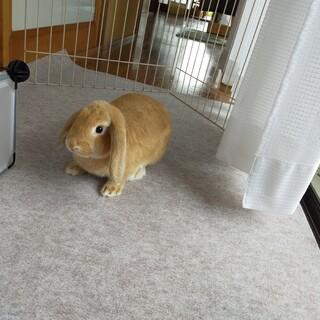 ウサギの里親募集します