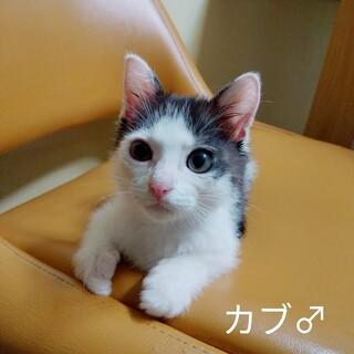 ヒト、猫オッケー。ふわふわ子猫