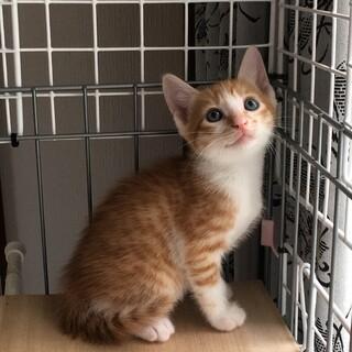 人気の茶白猫!かぎしっぽ!再掲載
