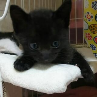 【動画あり】生後1か月の子猫です