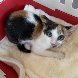 美猫三毛♀パールレディちゃん☆推定2〜3ヶ月齢