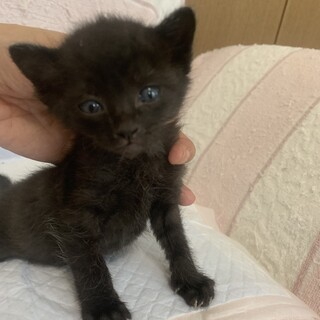 人懐こいもこもこぽってり黒猫ふぁんく君