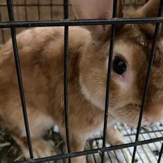 ダイヤ2歳オス、ミニウサギ。
