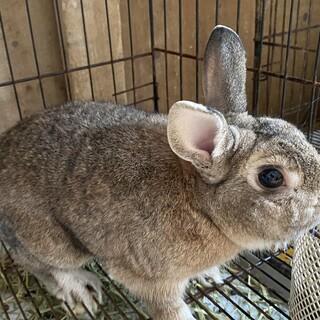 クリス2歳オス、ミニウサギ。