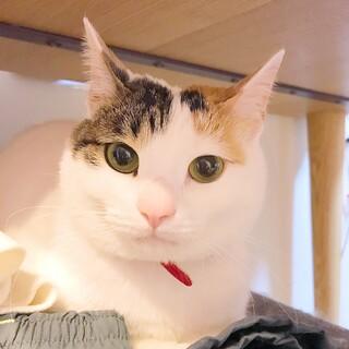 美人な三毛猫です