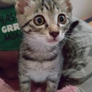 生後2ヶ月位の人懐っこいキジトラの女の子です。