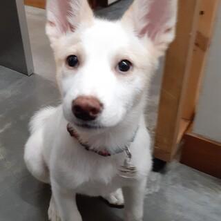 元野犬の仔犬 Kiraちゃん